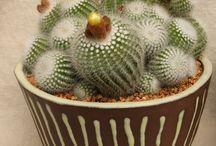 CACTI-Notocactus