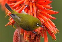 8 Cara Merawat Burung Pleci Agar Cepat Gacor dan Mengeluarkan Suara Isian