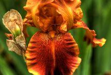 Iris-my love