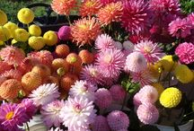 Dahlias by Les and Viv Connell