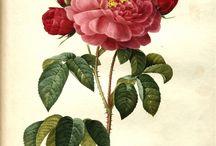 Botanical vintage illustration