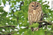 """Vogel des Jahres 2017 - Der Waldkauz / Seit 1971 küren LBV und NABU jährlich den """"Vogel des Jahres"""".  Im Jahr 2017 darf der Waldkauz den Titel tragen, denn mit ihm wollen wir für den Erhalt alter Bäume mit Höhlen im Wald oder in Parks werben und eine breite Öffentlichkeit für die Bedürfnisse höhlenbewohnender Tiere sensibilisieren."""