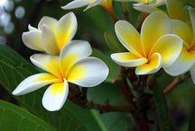 Flor Tiare
