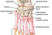 Bones anatomy