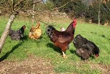 ChickChicky