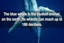 Not So Little Blue Whale