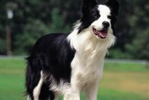 Border collies Labs,Dogs to love