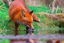 Fox Happy