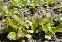 Semillero de lechugas / Preparación de un semillero de lechugas