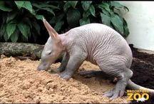 Aardvarkens