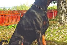 Pictures of dobermans