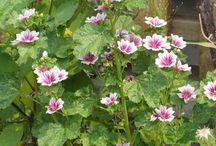 herbs - uses herbs - medicinal plants