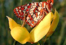 Flimsy Butterflies