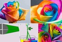 Colourful rose / Colourful rose