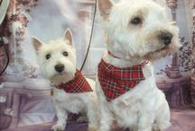 Freddie and Bonnie westies / My westies