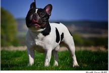 francia bulldog/ french bulldog