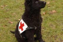 German Shepard Dog / Love and appreciation of the German Shepard Dog.