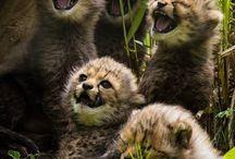 Cheetahs / About cheetahs and their nature.