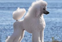 Poodle trims
