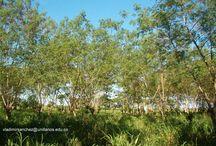 Shade Silvopastoral Systems / trees + animal welfare = production