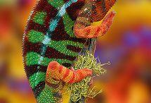 chameleo pardalis
