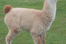 Animals - Alpaca and Llama