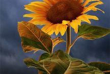 napraforgó +virágok