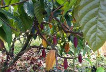 La Granja / The magical world of cacao plantations