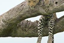 Leopardo giaguaro