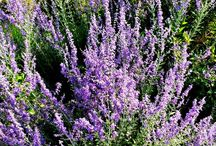 Perennial Flowers for landscaping.