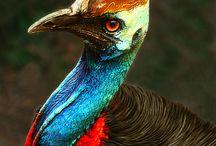Birds - Cassowary
