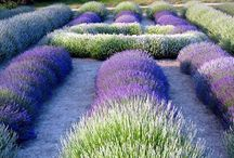 Smell the Lavender...