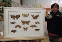 The Devon moth / Each moth is hand crafted of English timber to produce exquisite life like sculptures