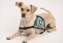 Therapy Dogs / Service Dogs / Find out differences between therapy dogs, service dogs, and emotional support dogs. Enjoy the stories and images.