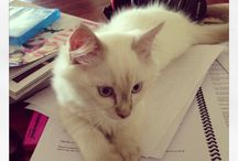 Casperjay / We're registered breeders of the beautiful Ragdoll...we live to share pic's of our furbabies...find us online www.casperjay.com.au