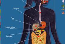 sciences corps humain