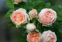 Roses for bouquets