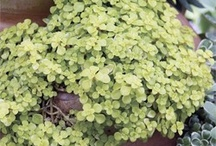 Sedums / Sedums are succulent ground covers that work well in the dry summer landscape of Sonoma County.  They also look great in mixed succulent pots, moss wreaths and vertical planters.