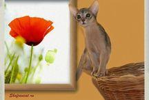 Cat. Abyssinian cat / Кошки абиссинские