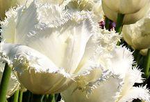 Tulipany białe