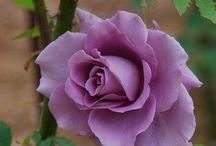 Rose / Roses