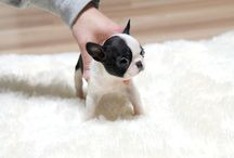 French Bulldog / I want a teacup or miniature one...