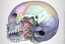 Cranial anatomy / Images of cranial anatomy for medical students, doctors and artists. Anatomy of head