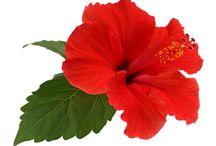Hibiscus Non Comestible