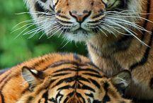 tijgers / alles wat met tijgers te maken heeft