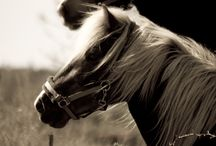 Black and White Photo Horses