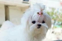 Cute Dog :: Shih Tzu