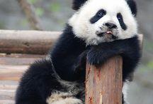 Beautiful Pandas