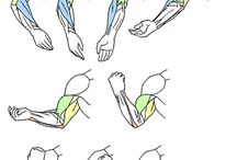 muscles of arm