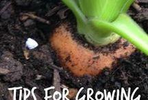 odla morötter